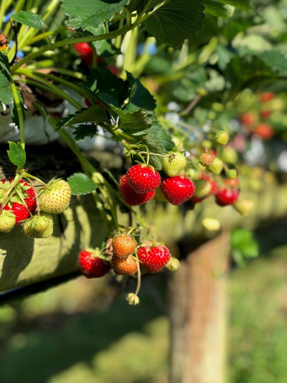 PYO strawberries